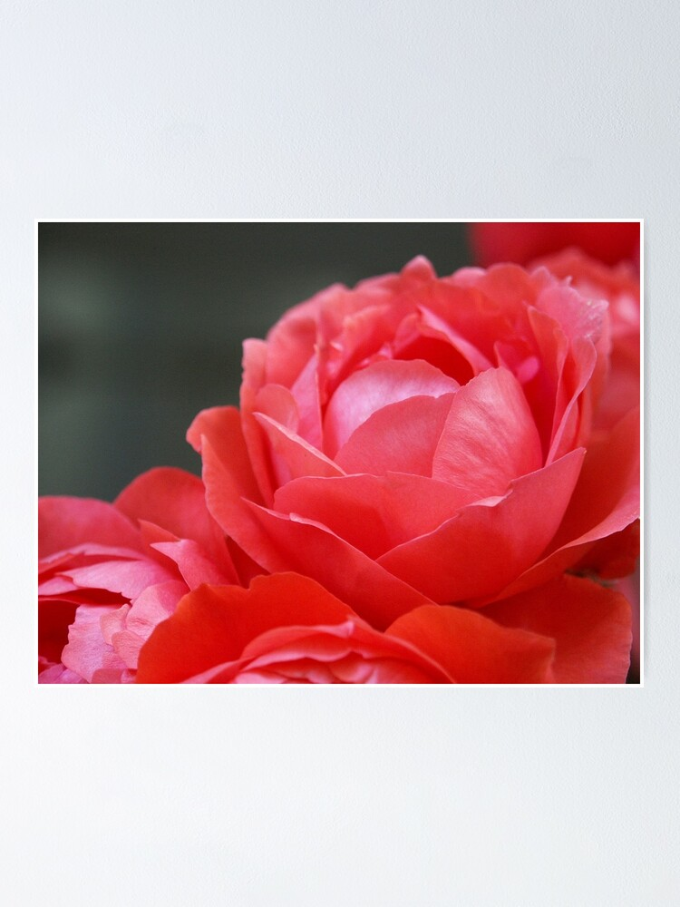 Alternate view of Coral Red Roses Poster