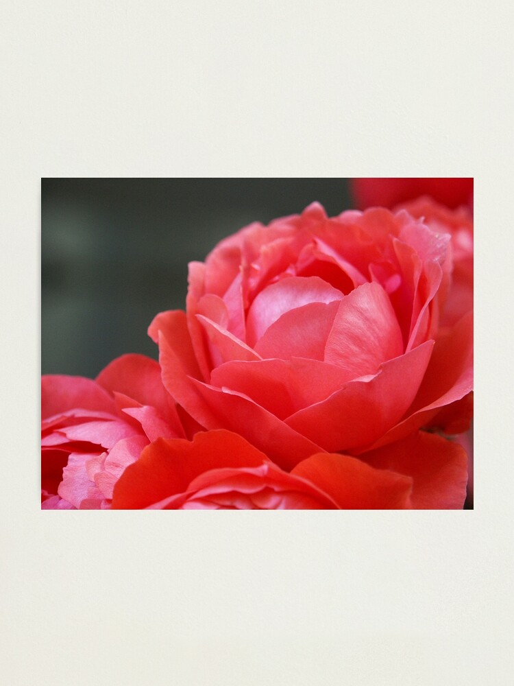 Alternate view of Coral Red Roses Photographic Print