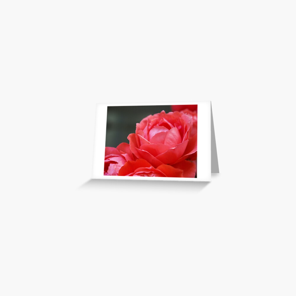 Coral Red Roses Greeting Card