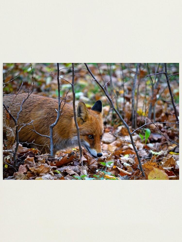Alternate view of Friendly Fox Photographic Print