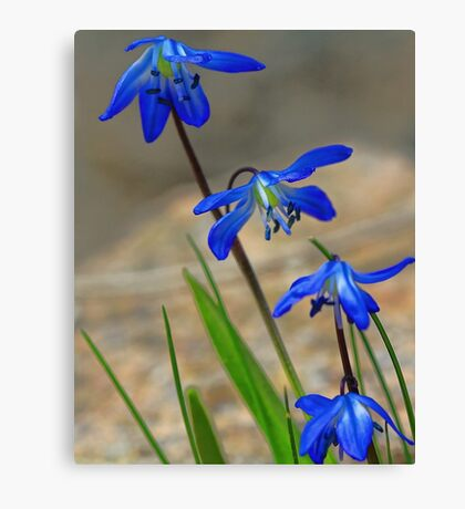 Blue Spring Beauty - Bridgton,  Maine Canvas Print