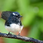 Cheeky Willie Wagtail by GrannyMay