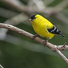 American Goldfinch by CarolColaianni