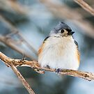 Tufted Titmouse by CarolColaianni