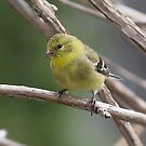 Female Goldfinch by CarolColaianni