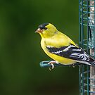 Goldfinch by CarolColaianni
