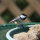 Black-capped Chicadee by CarolColaianni