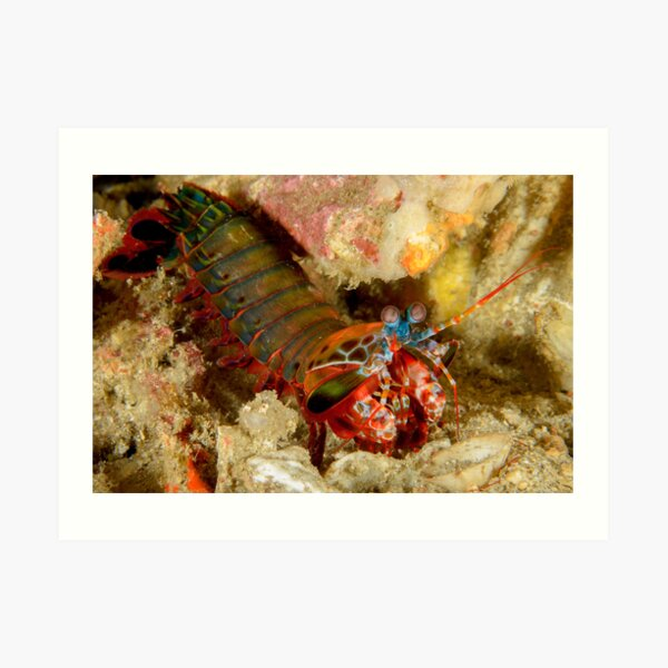 Peacock Mantis Shrimp - Odontodactylus scyllarus Art Print