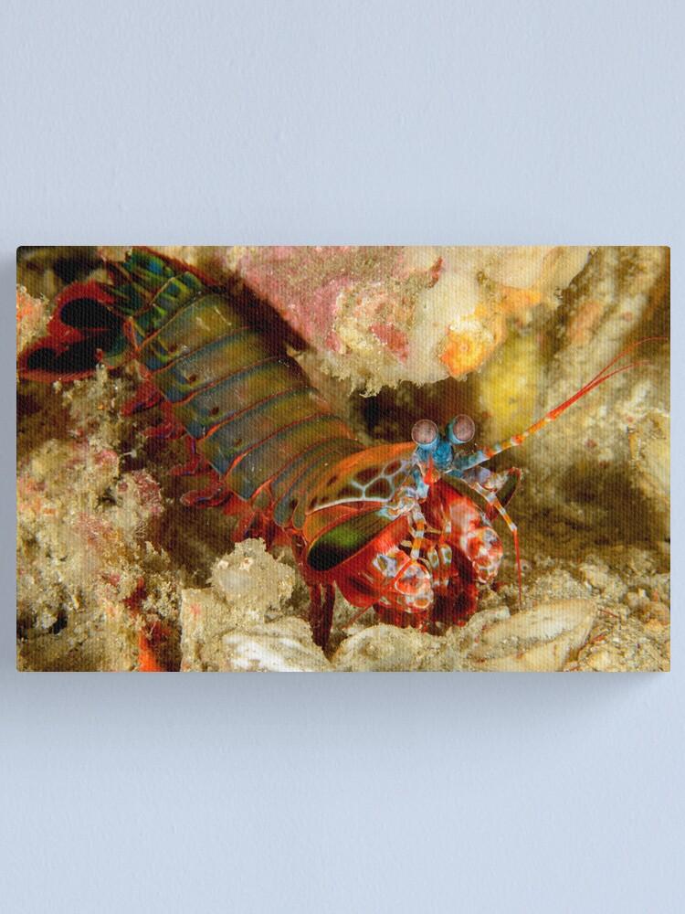 Alternate view of Peacock Mantis Shrimp - Odontodactylus scyllarus Canvas Print