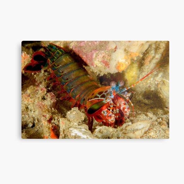Peacock Mantis Shrimp - Odontodactylus scyllarus Metal Print