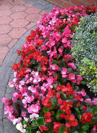 A Multitude of Begonias by BlueMoonRose