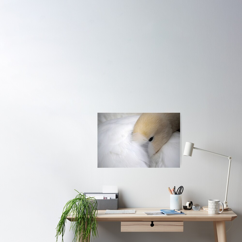 Shy Swan Poster