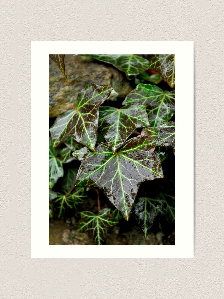 Alternate view of Glistening Ivy Art Print