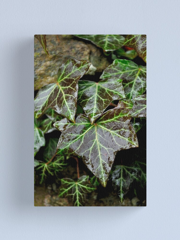 Alternate view of Glistening Ivy Canvas Print