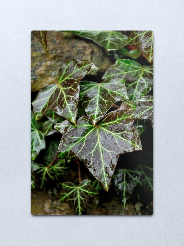 Alternate view of Glistening Ivy Metal Print