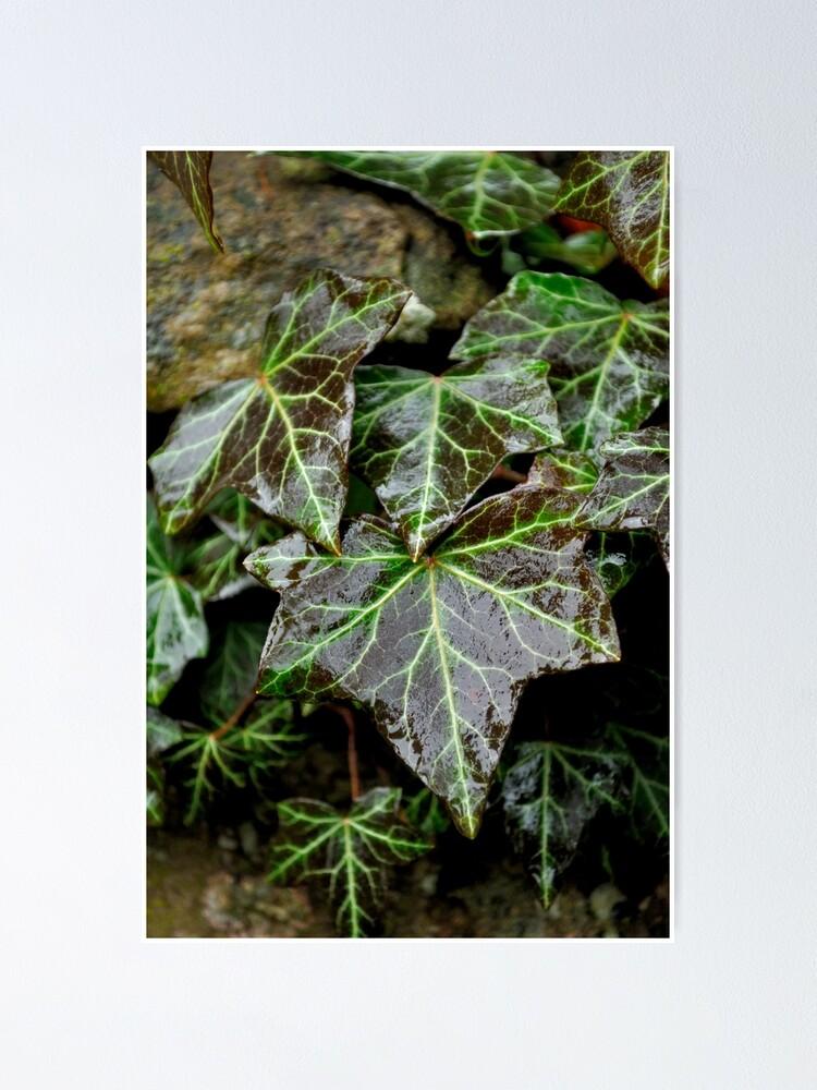 Alternate view of Glistening Ivy Poster