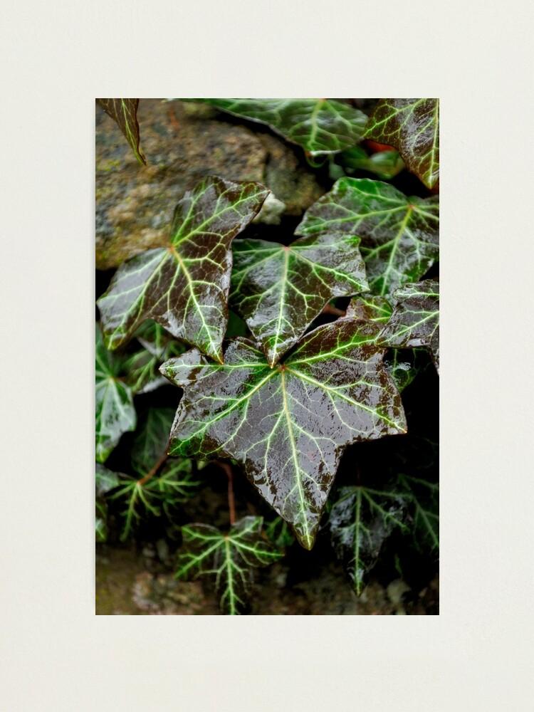Alternate view of Glistening Ivy Photographic Print