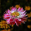 One Pink Paper Daisy by Evita