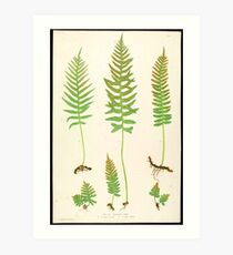 Ferns of Great Britain (19th Century) Art Print