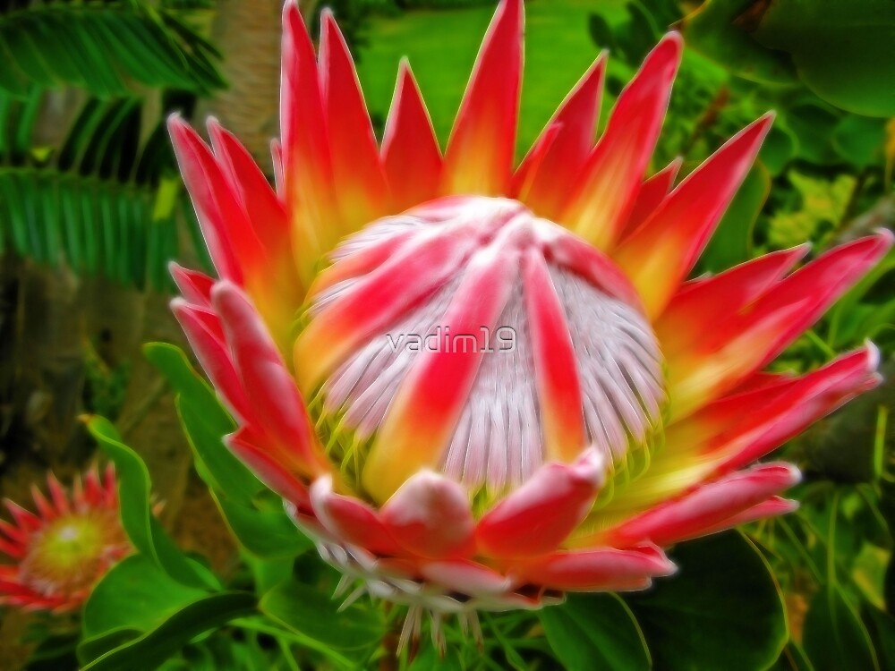 Quot King Protea South Africa Quot By Vadim19 Redbubble