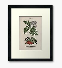 Wayside and woodland blossoms a pocket guide to British wild flowers for the country rambler  by Edward Step 1895 117 Mountain Ash Rowan Tree Framed Print