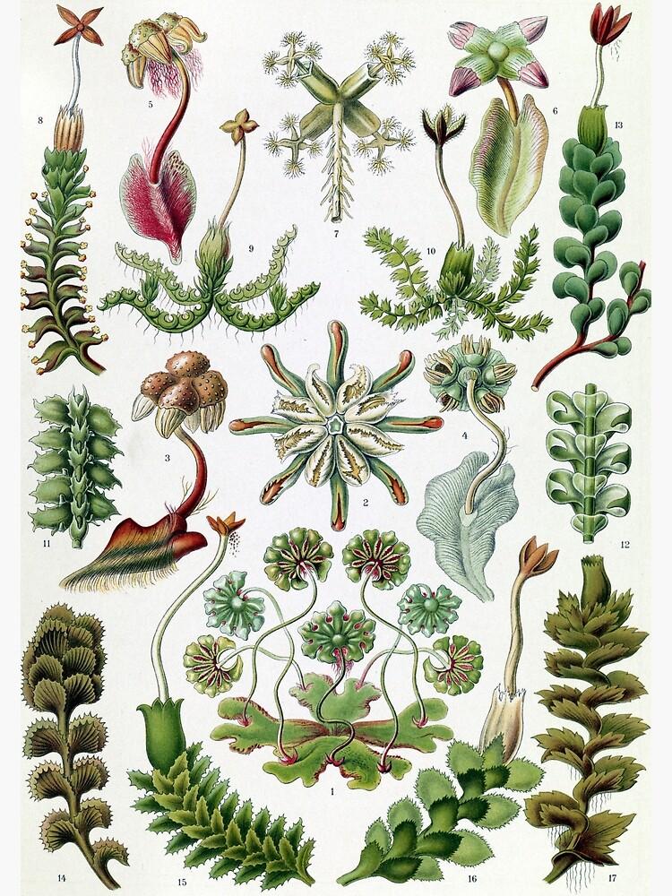 Vintage Ernst Haeckel Illustration of Liverworts by pdgraphics