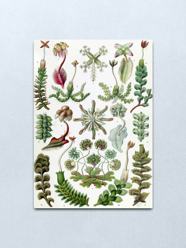 Alternate view of Vintage Ernst Haeckel Illustration of Liverworts Metal Print