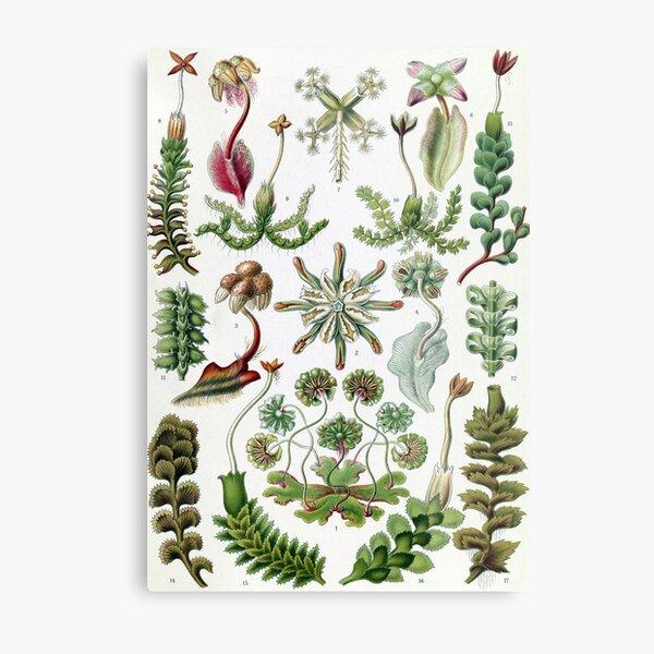 Vintage Ernst Haeckel Illustration of Liverworts Metal Print