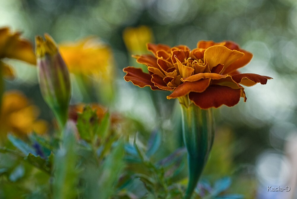 Tagetes by Kasia-D