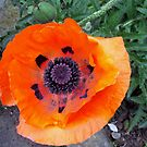 A Pensive Poppy by biddumy