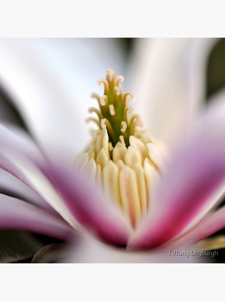 The Star of the Star Magnolia by Tiffany