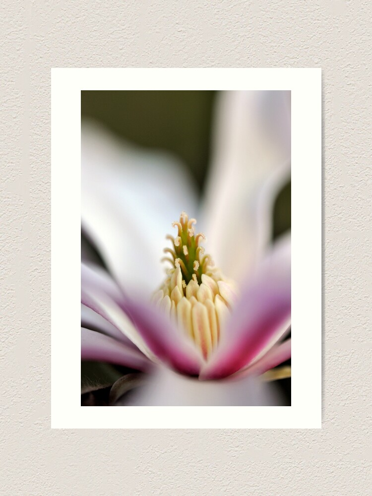 Alternate view of The Star of the Star Magnolia Art Print