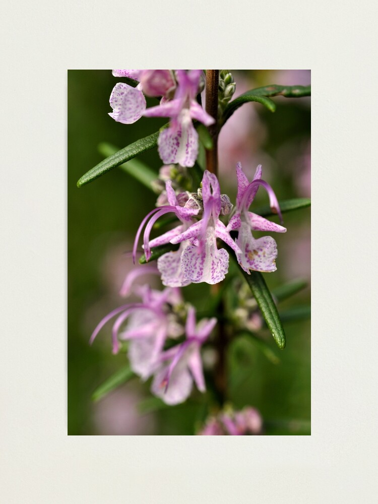 Alternate view of Rosemary Blooms Photographic Print