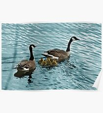 Pair of Adult Canada Geese with Goslings Poster