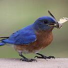 Eastern Bluebird Calendar by Sheryl Hopkins