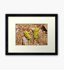 Dragon Lily seed heads, Greece Framed Print
