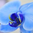 Blue Orchid, As Is by Kim McClain Gregal
