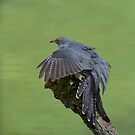 Cuckoo by M S Photography/Art