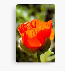 young poppy catching the sun Canvas Print