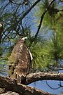 Bald Eagle Fledgling, As Is by Kim McClain Gregal