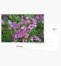 Phlox Postcards