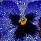 Purple Pansy by Tori Snow