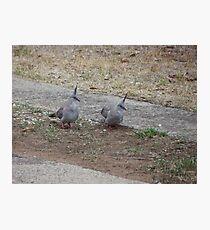 Topknot pigeons Photographic Print