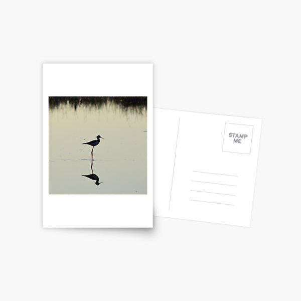 Black-winged Stilt Postcard