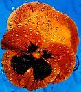 Orange Pansy Floating by Tori Snow