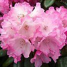 Rhododendron  by Braedene