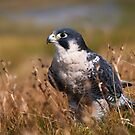 Peregrine Falcon close-up by Stephen Miller