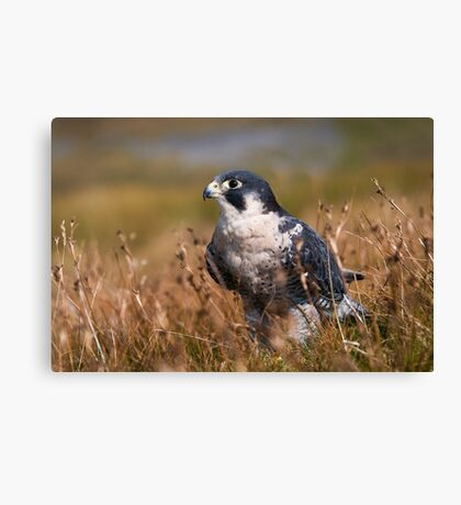 Peregrine Falcon close-up Canvas Print