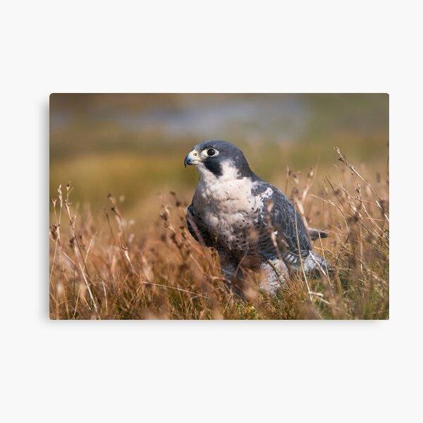 Peregrine Falcon close-up Metal Print