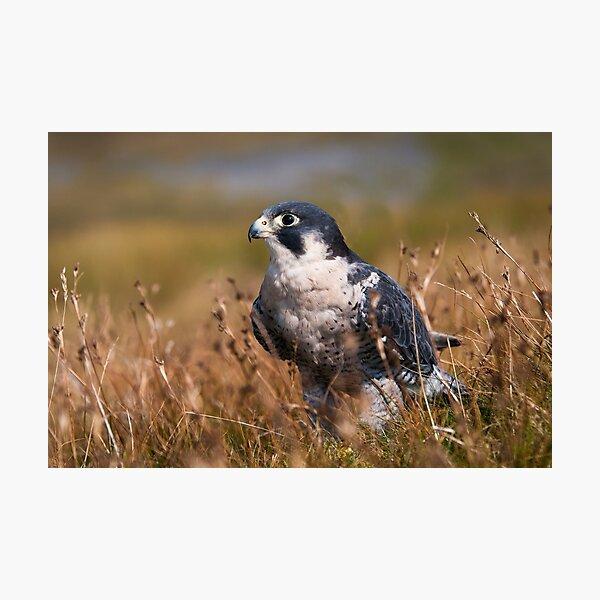 Peregrine Falcon close-up Photographic Print